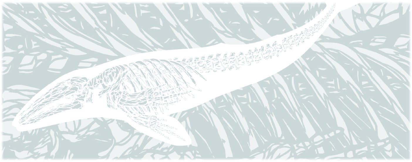 アキシマクジラの化石のイメージ
